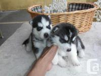 our Siberian husky puppies are vet checked and have