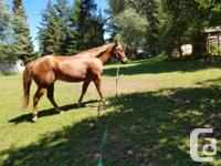 Gelding for rehoming. Cody is a 13 year old,