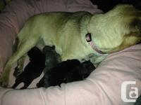 We have 4 Pug/Jug Puppies looking for loving forever