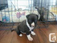 Pitbull pups available for sale - birthed Oct 17/2014.