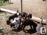 8 week aged hound young puppies, guy and female,