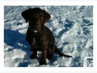 Labrador chocolat male, 3 mois et 1/2, toutes ses