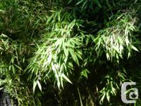 Arrowhead Bamboo (Pseudosasa japonica) Rapid expanding