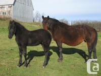 Percheron colt born July 17, 2014. Registered percheron