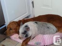 Pure Mini Juliana Pot tummy pig. We have a pure mini