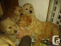 Pure breed goldenretriever puppies for sale! Born on