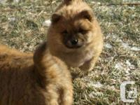 Available is one female Chow Chow puppy. She is a