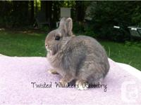 I HAVE 2 PUREBRED AND PEDIGREED NETHERLAND DWARF DOES