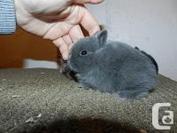 PUREBRED PEDIGREED NETHERLAND DWARFS. RAISED IN OUR