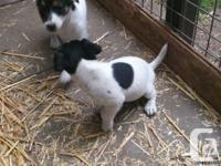 Junior a tri color Jack Russell terrier. He is just 1