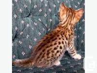 This new breed is produced when an African Serval is