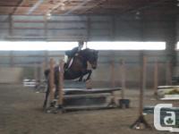 Mocha is a 15.2hh coming 8yr old Quarter Horse. Mocha