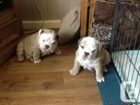 Quality English bulldog puppies for Gift. These pups