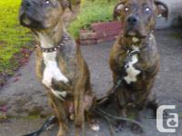 TWO RARE PUREBRED BLUE-NOSE BRINDLE PIT BULL PUPPIES