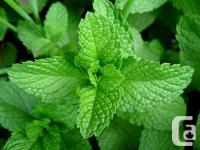 Choco mint, orange mints, catnip, lemon balm, chives,