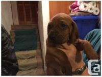 I have 6 out of the 9 redbone coonhound puppies for