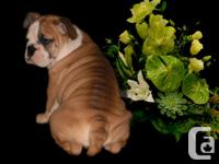 Only 2 girls left. Superb Olde Victorian Bulldogges.
