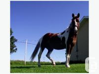 2005 APHA Mare Broke English, Western & Harness Bomb