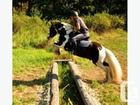 Very versatile beautiful boy - trained to ride & drive.