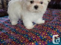 Adorable little Maltese puppy, looking for her for ever
