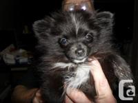 This Pomeranian pup is a top of the line pup, He is