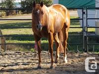 11-year-old Quarter Horse gelding, 15.3hh. Easy keeper,