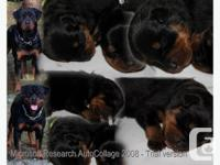 Rottweiler pups for sale, born January 15/2014 will not