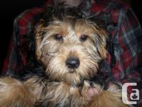 This beautiful female Yorkie is full of life and she