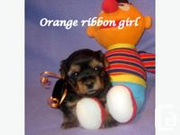 Our Unique Yorkie puppies are raised in a loving home