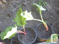 Rhubarb PLANTS CONTACT MY EMAIL WITH HOW MANY PLANTS