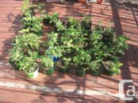 Hi; I have around 30-40 rose bushes for sale. They are