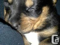 We have 3 rottador mixes for sale. There is 3 black