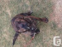 I have a beautiful 7 month male brindle Rottweiler bull