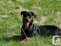 Rottweiler 10 months lookin for a loving, caring and