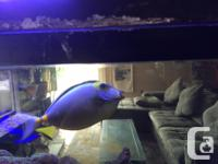 "8"" Emperor Angel $380.- 6"" hippo Blue tang. $320.- 6"""