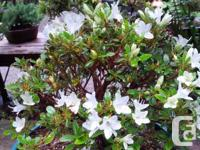 Satsuki evergreen Azalea, bicolor flowers, in bud or