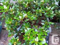Satsuki evergreen Azaleas, bicolor flowers, in bud or