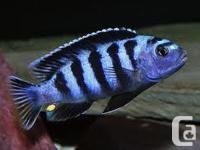 I have some saulos cichlid fry for sale. The biggest