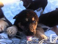 K-9 Cabins rescue culture presently has 4 female new