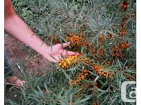 Sea Berry or Sea Buckthorn - (Hippophae rhamnoides)