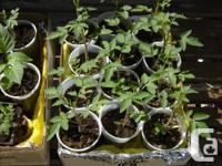 I have seedlings for sale. I have one Bell Pepper plant