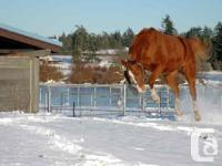 This AQHA Reg. gelding has been a regular at the