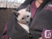 SIAMESE KITTENS ARE HERE COME SEE THE KITTENS WE HAVE 1