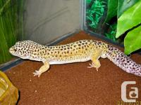 2 year old snow leopard gecko needs a forever home.