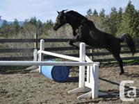 Aurora is a beautiful Quarter Horse x Arabian. Who