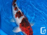 Hello koi lovers, First all I would like to thank you