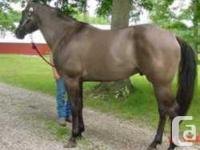 Joaks Hidden Ace is a 15.2hh grullo stud. He is N/N for