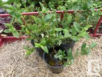 Linden Street Farms is reserving orders for Blueberry
