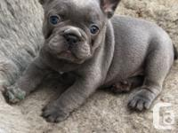 We are proud to announce that our French Bulldog