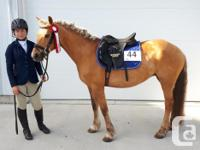 """Shilo""- she is a 10 yr old 13.2 Reg Welsh Pony. Huge"